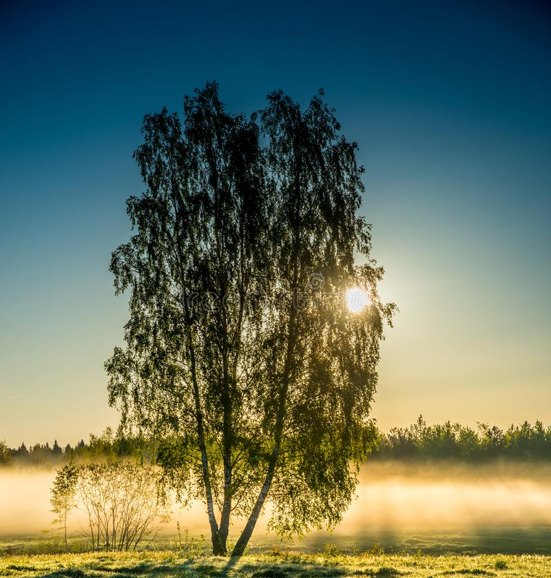 Birch trees in misty sunny day. Blue and orange stock photography