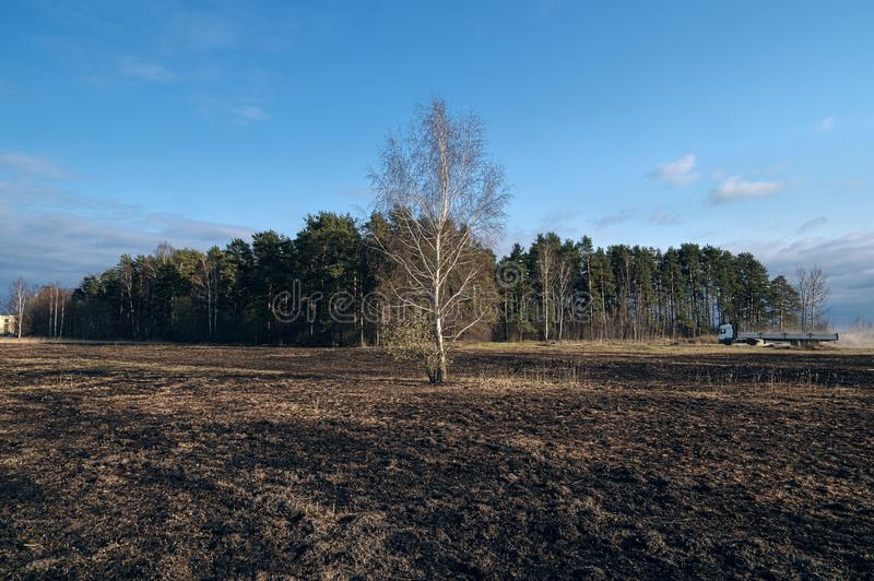 Birch trees in the spring meadow after last year`s dry grass burn out. Dramatic landscape of ecological disaster caused by traditional last year`s dry grass stock photo