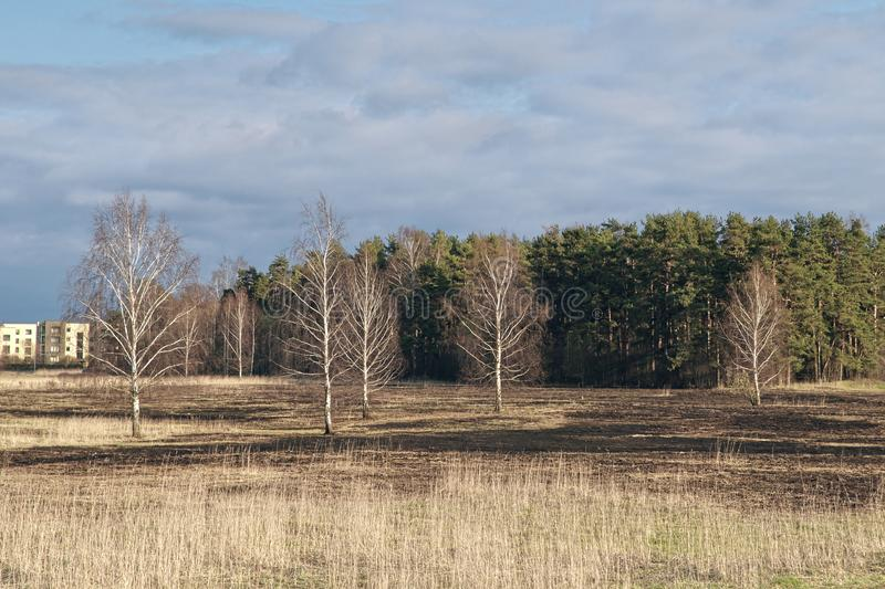 Birch trees in the spring meadow after last year`s dry grass burn out. Dramatic landscape of ecological disaster caused by traditional last year`s dry grass royalty free stock photo