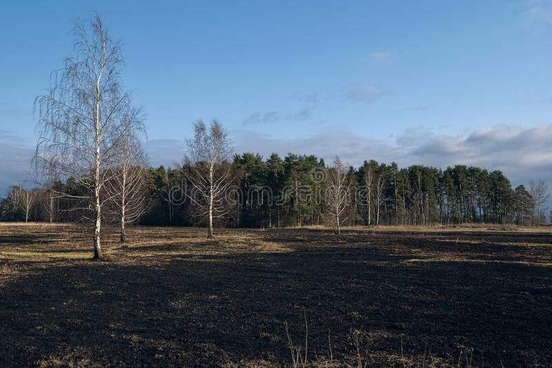 Birch trees in the spring meadow after last year`s dry grass burn out. Dramatic landscape of ecological disaster caused by traditional last year`s dry grass royalty free stock photos