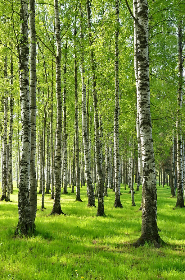 Birch trees in spring. In the park stock photos