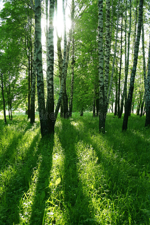 Birch trees and sun. Birch trees with long shadows in sammer forest stock images