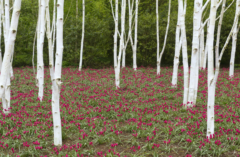 Birch trees & tulips royalty free stock images