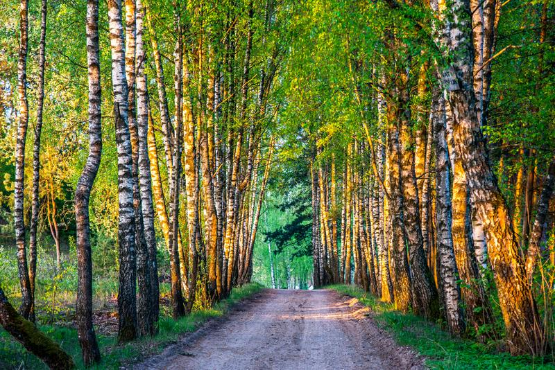 Birch trees tunnel and road royalty free stock images