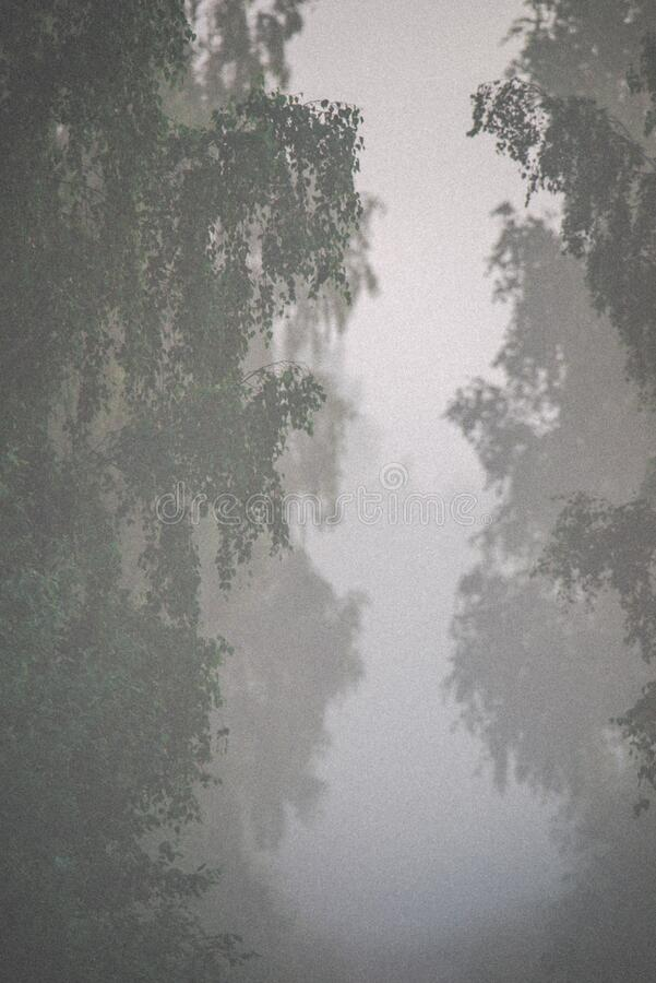 birch trees twigs with leaves tunnel in misty dawn stock photos