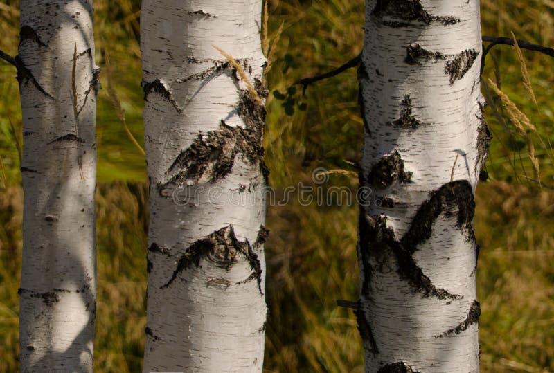 download birch tree wallpaper stock photo image