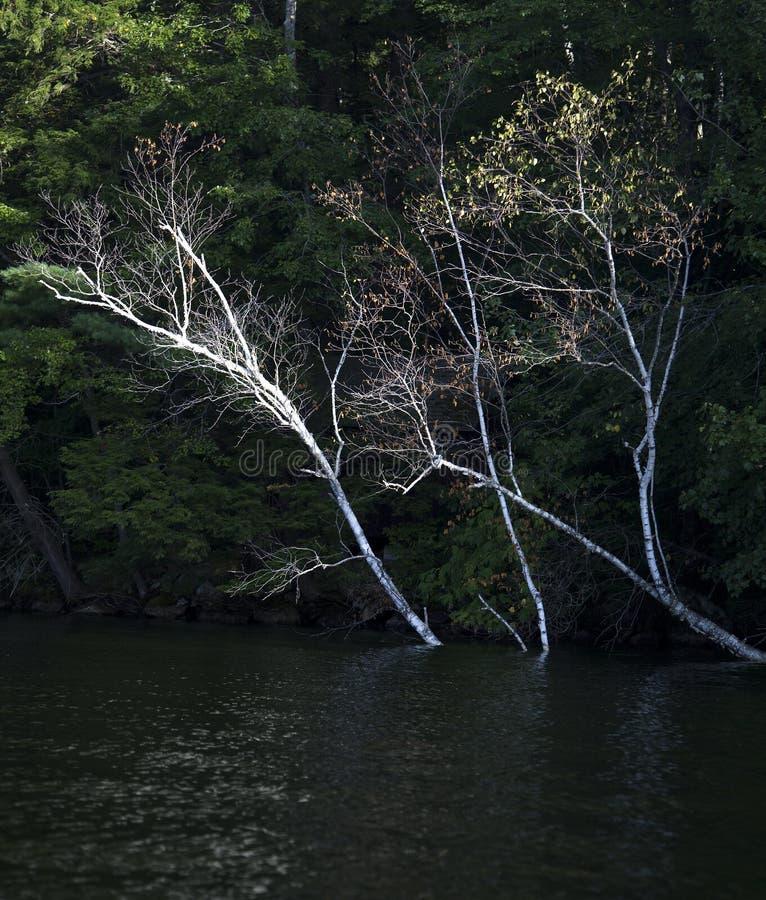 Birch trees in water at lake shoreline stock image