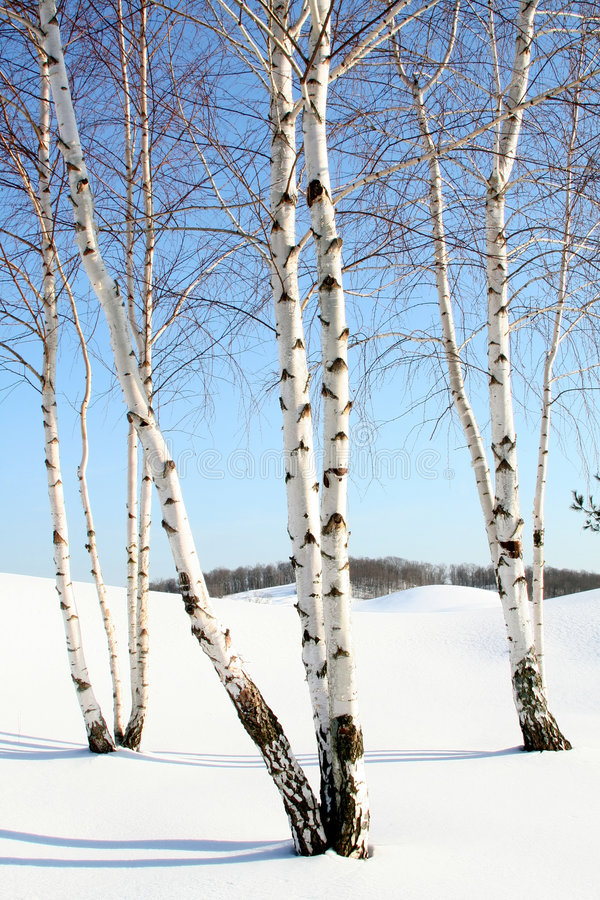 Birch Trees in the Winter. Several stands of birch trees in the snow stock photo