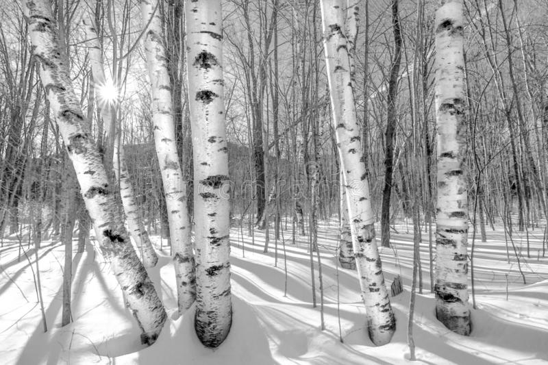 Birch trees in Winter - B&W royalty free stock photography