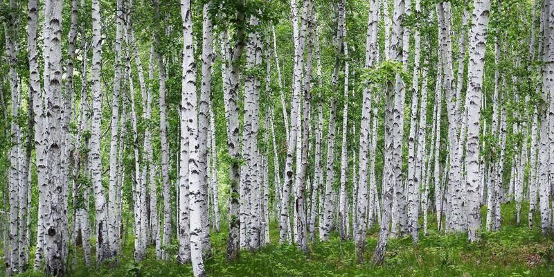 Birch tress forest. In the countryside of russia stock images