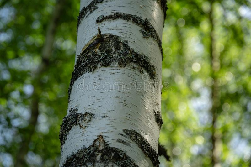Birch trunk and sun rays in natural summer birch forest on elegant green bokeh lush foliage royalty free stock image
