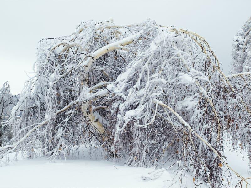 Download Birch under pressure stock photo. Image of storm, blizzard - 13307806