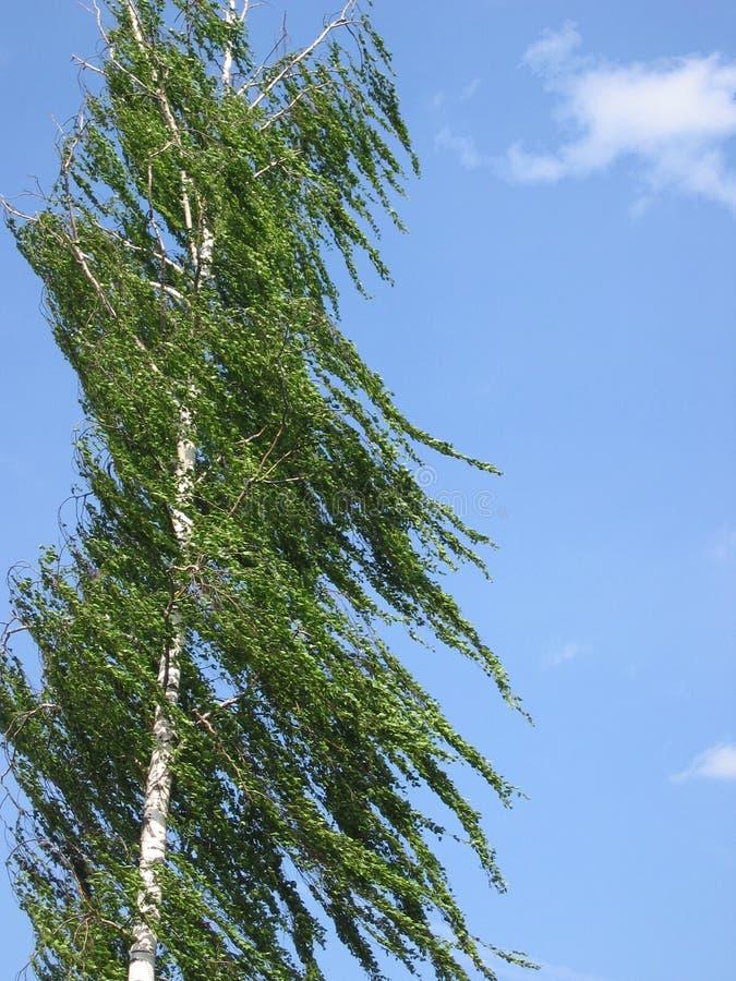 birch wiatr zdjęcia stock