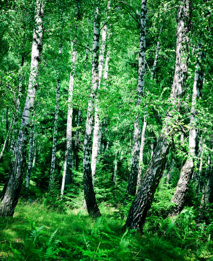 Download Birch Wood Royalty Free Stock Images - Image: 2789909