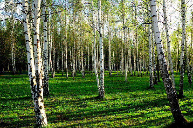 Download Birch wood in Russia stock photo. Image of outdoors, landscape - 2530688