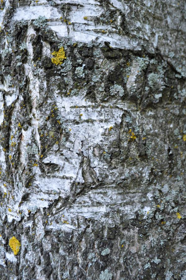 Birch wood texture bark royalty free stock photo