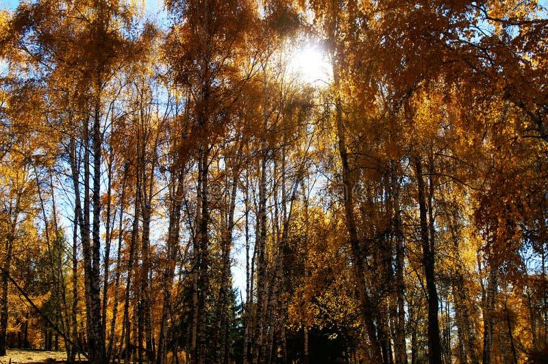 Birch woods in autumn stock photo