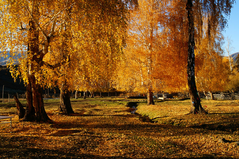 Birch woods in autumn royalty free stock photos