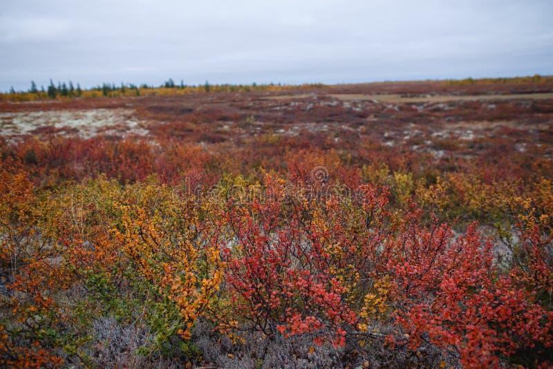 Birch Zwerg Betula nana im Herbst in Narian-Mar Farbtöne im Herbst lizenzfreie stockfotos