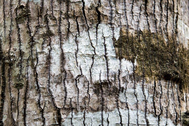 Birchbark στοκ φωτογραφίες