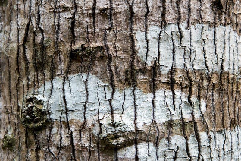 Birchbark στοκ εικόνες