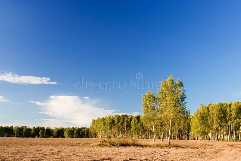 Birchen Wald lizenzfreie stockfotografie