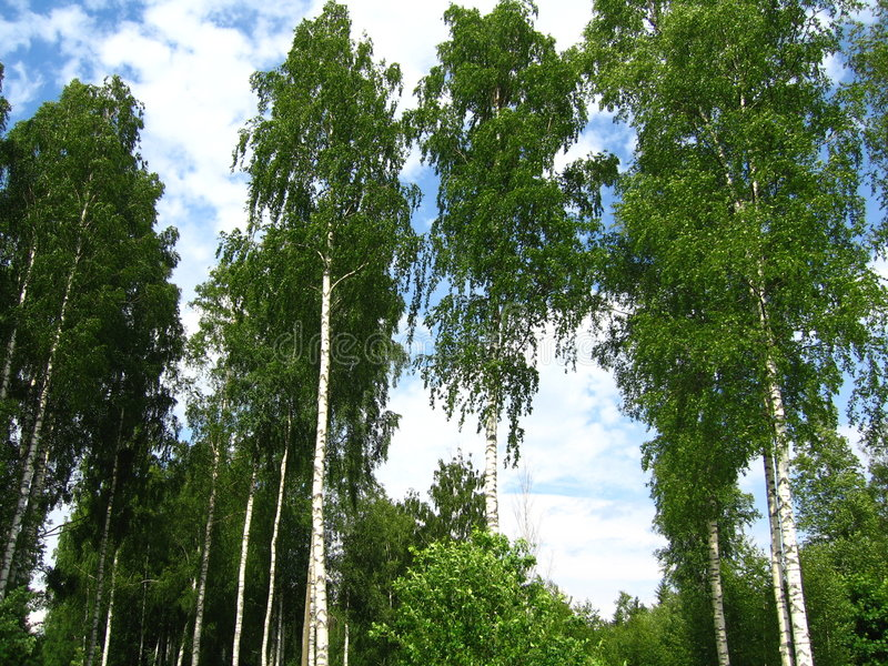 Birches royalty free stock image