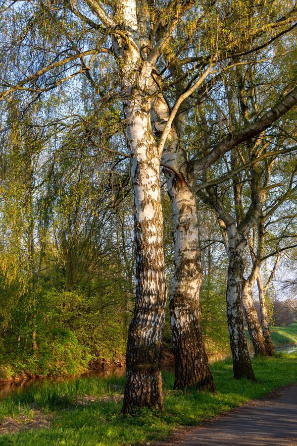 Birches in the evening sun in spring stock photography