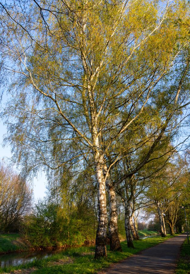 Birches in the evening sun in spring royalty free stock image