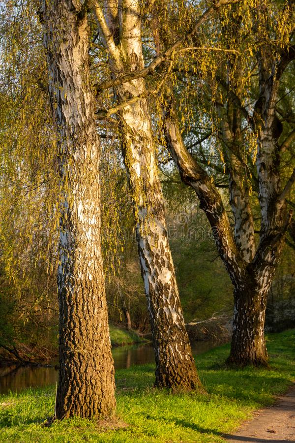 Birches in the evening sun in spring royalty free stock images