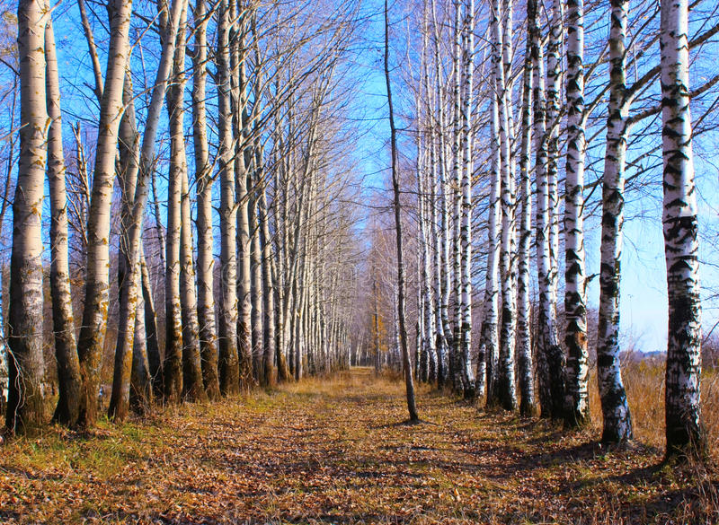 Birches and aspens royalty free stock image