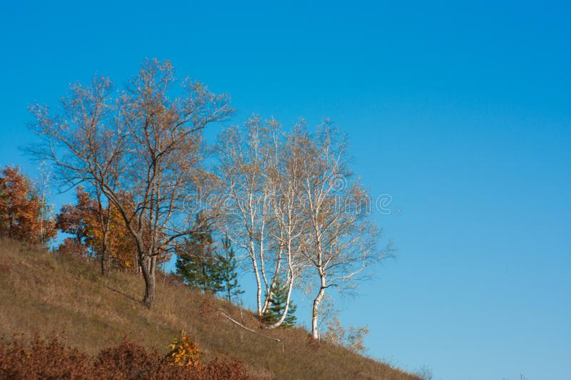 Birches in the autumn on a hill under a blue sky, yellow trees and grass and a blue sk. Y, the border of China and Russia stock photo