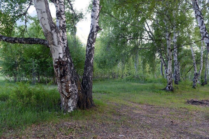 Birches on the bank of the river Big Yaloman. Mountain Altai. ALTAI REPUBLIC, RUSSIA JUNE 5, 2018: Birches on the bank of the river Big Yaloman. Mountain Altai stock photo