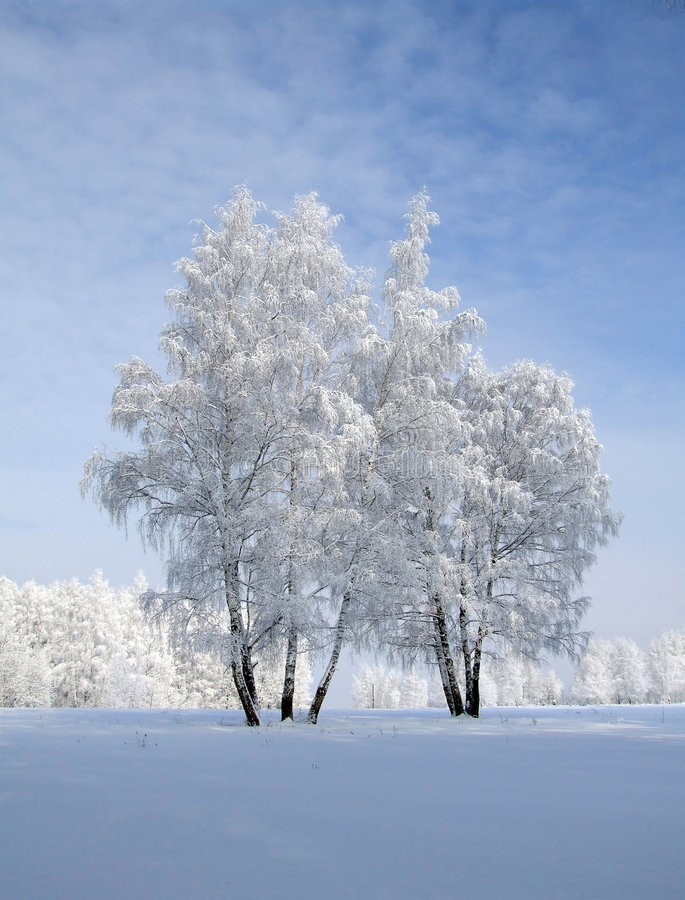 Birches on blue stock photo