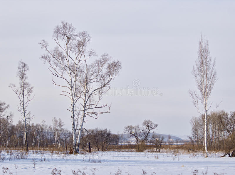 Birches on brink of a meadow in the winter royalty free stock image