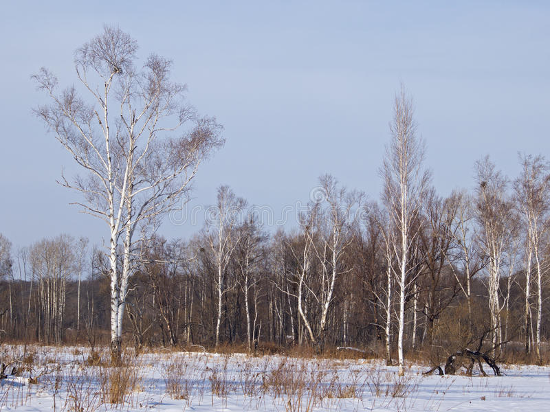 Birches on brink of a meadow in the winter stock photo