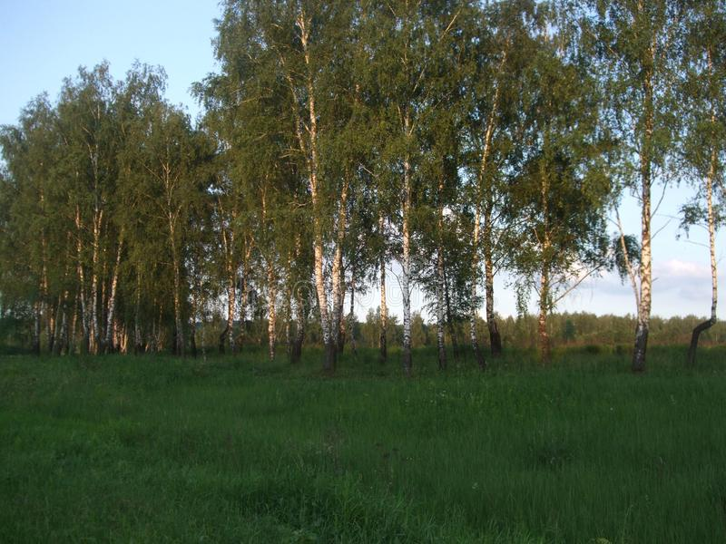 The birches in the evening sun lightning. The birches in the evening sun lightning, May. Yong grass stock photography