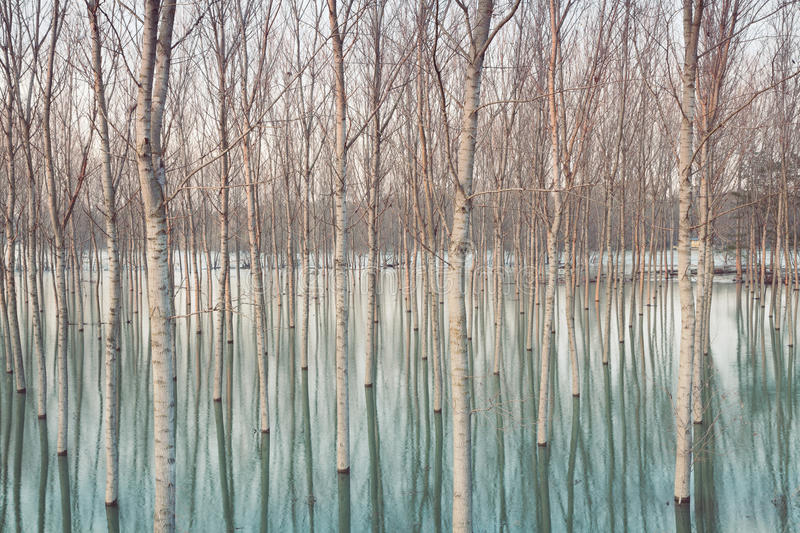Birches in flooded countryside stock photo