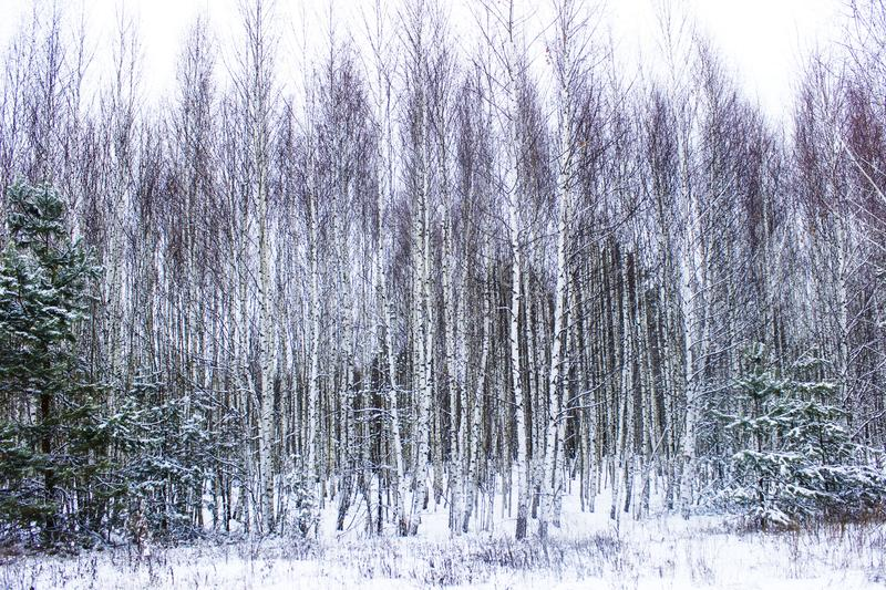Birches on the forest edge stock photos