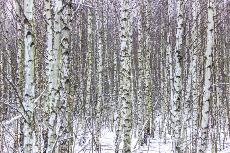 Birches on the forest edge stock photo
