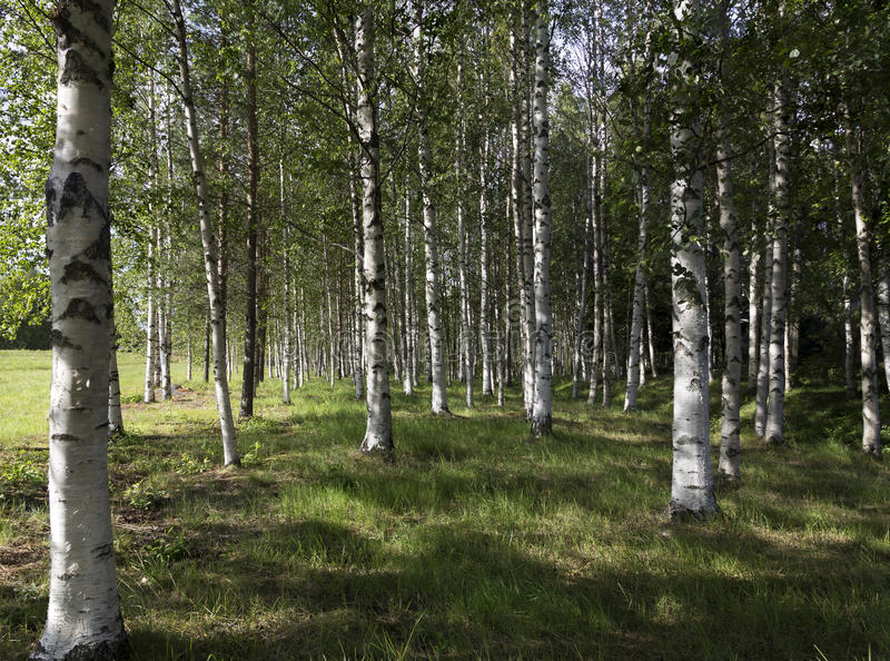 Birches in the forest. Birches in the summer forest royalty free stock photo