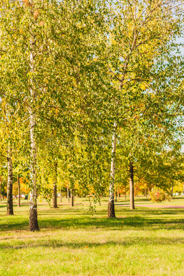 Birches with green and yellow leaves, autumn birch leaves royalty free stock photo
