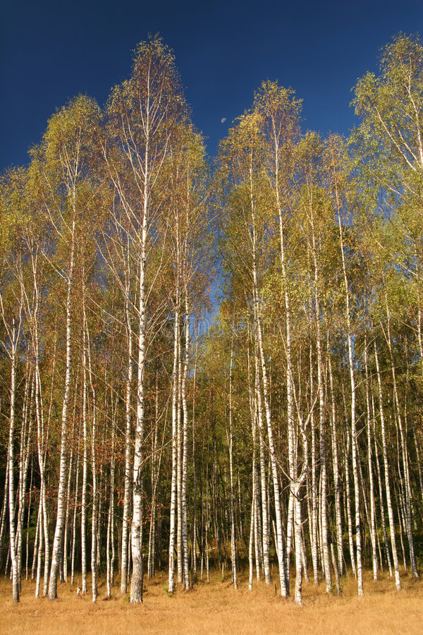 Birches and moon stock photo