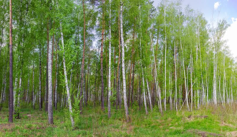 Birches and pines on the edge of spring forest stock images