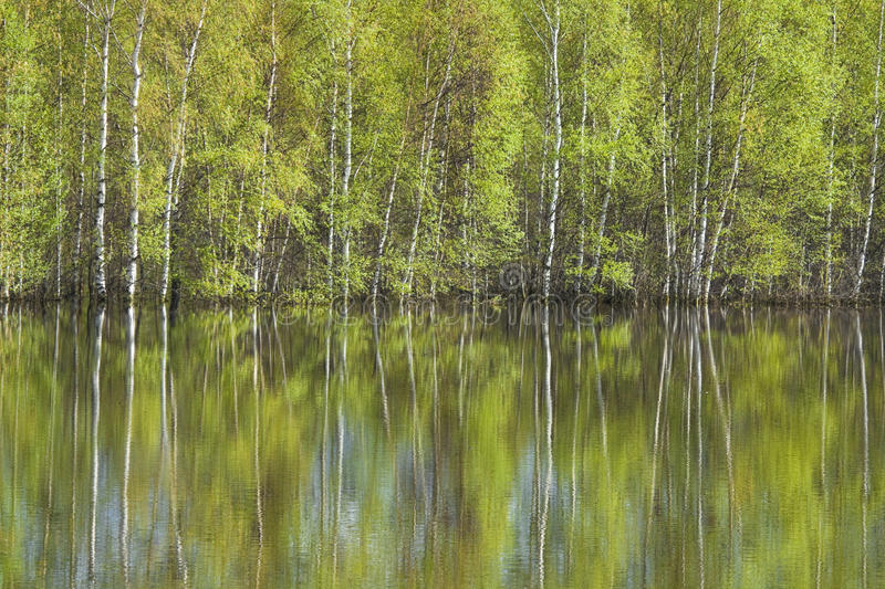 Download Birches reflected in water stock photo. Image of series - 27273324