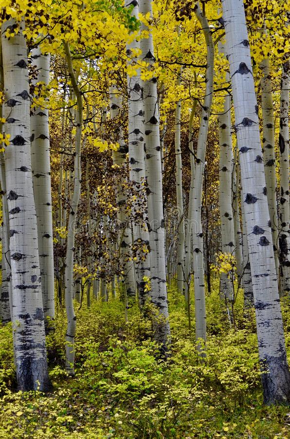Birches on the Road to Sharks Tooth Trailhead, forest road 561. Autumn Gold and Mountain Blues. San Juan Mountains, forest road 561. Follow the signs to Transfer royalty free stock photography