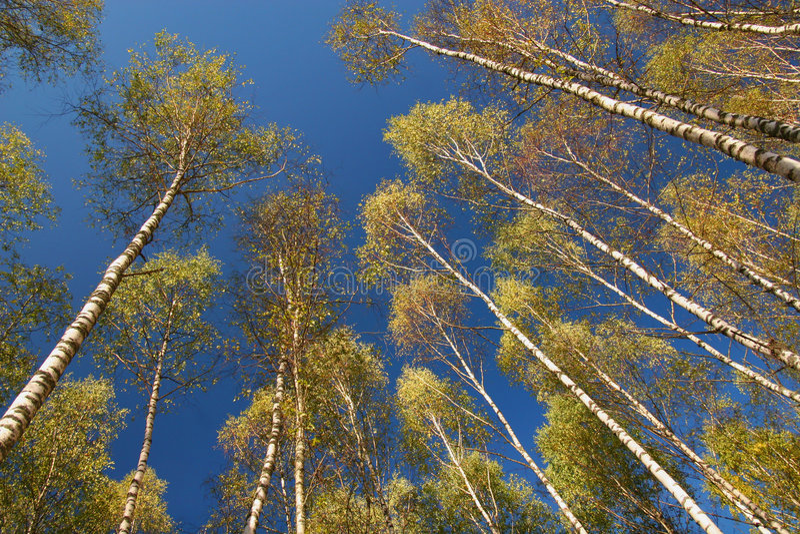 Birches on sky stock photo