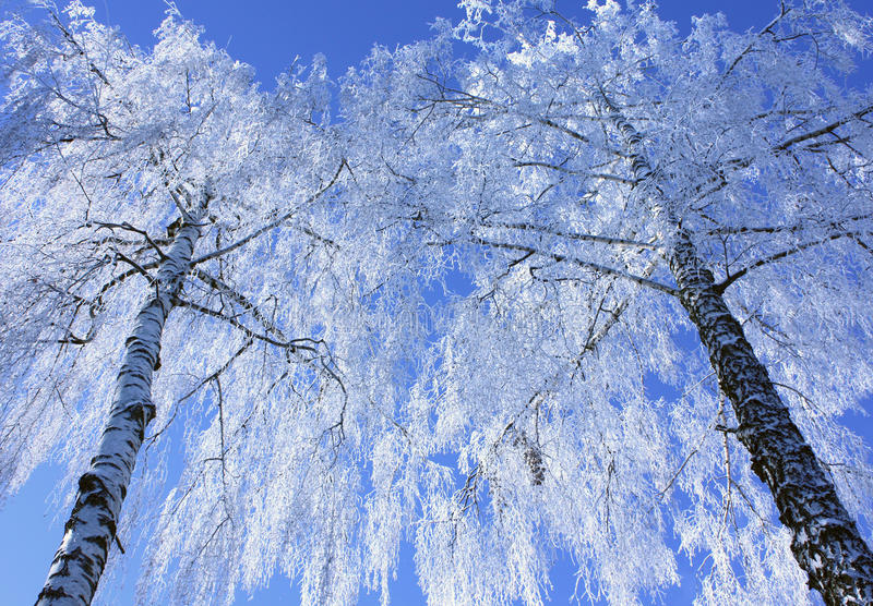 Download Birches in winter stock photo. Image of december, holidays - 13945842