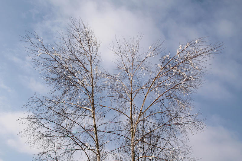 Birches in winter. Bare birches with some pieces of snow on their branches in winter stock photography