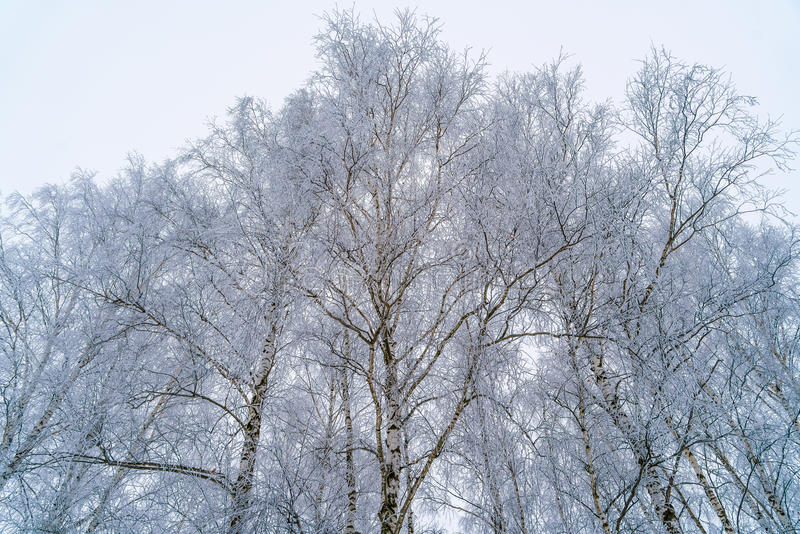 Birches in winter forest with white snow stock photography
